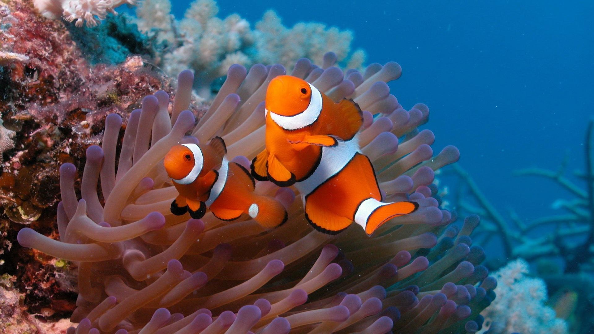 pesci pagliaccio sfondo desktop hd wallpaper two clownfish 1920x1080 1920x1080