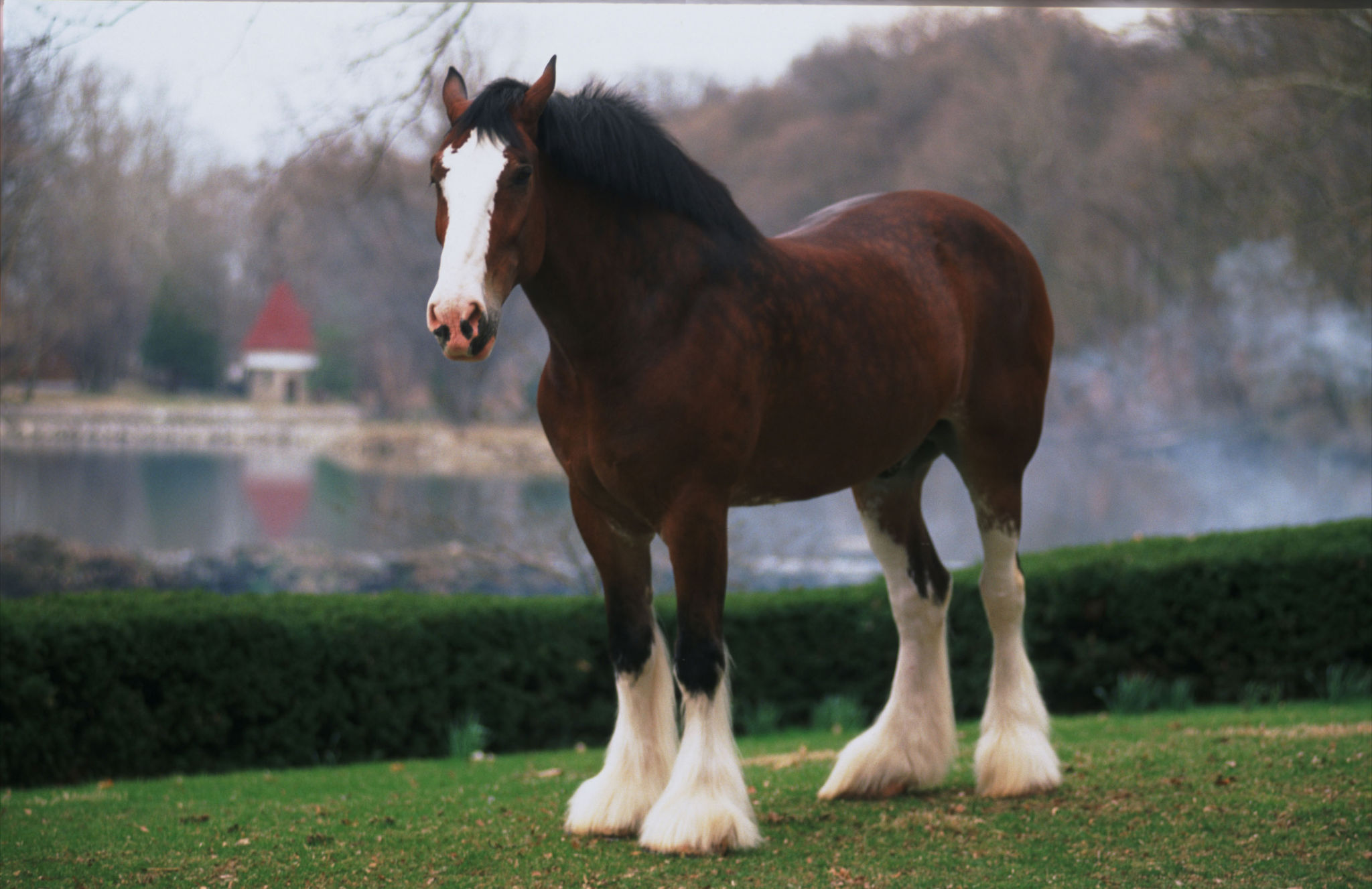 Clydesdales Wallpaper Wallpapersafari