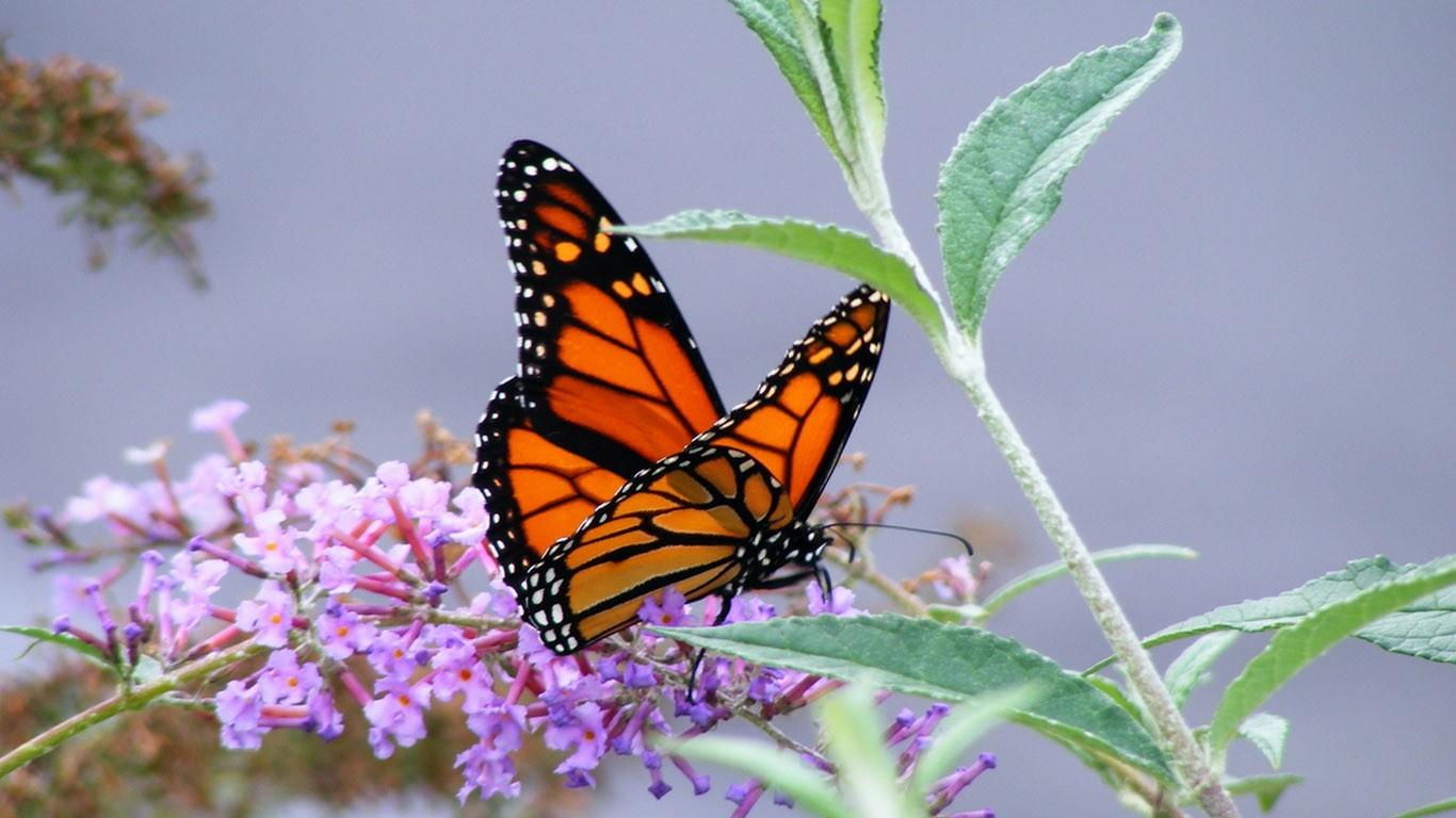 Monarch Butterfly   Wallpaper 40128 1366x768