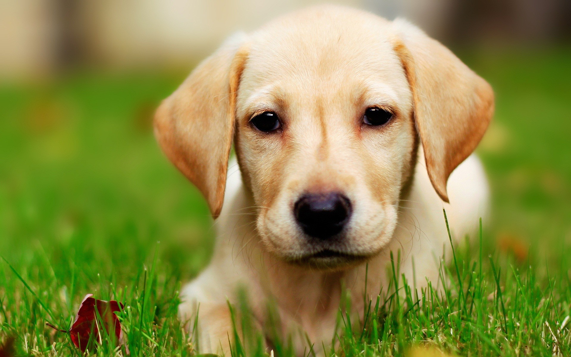 Eyes yellow animals dogs labrador retriever wallpaper background 1920x1200