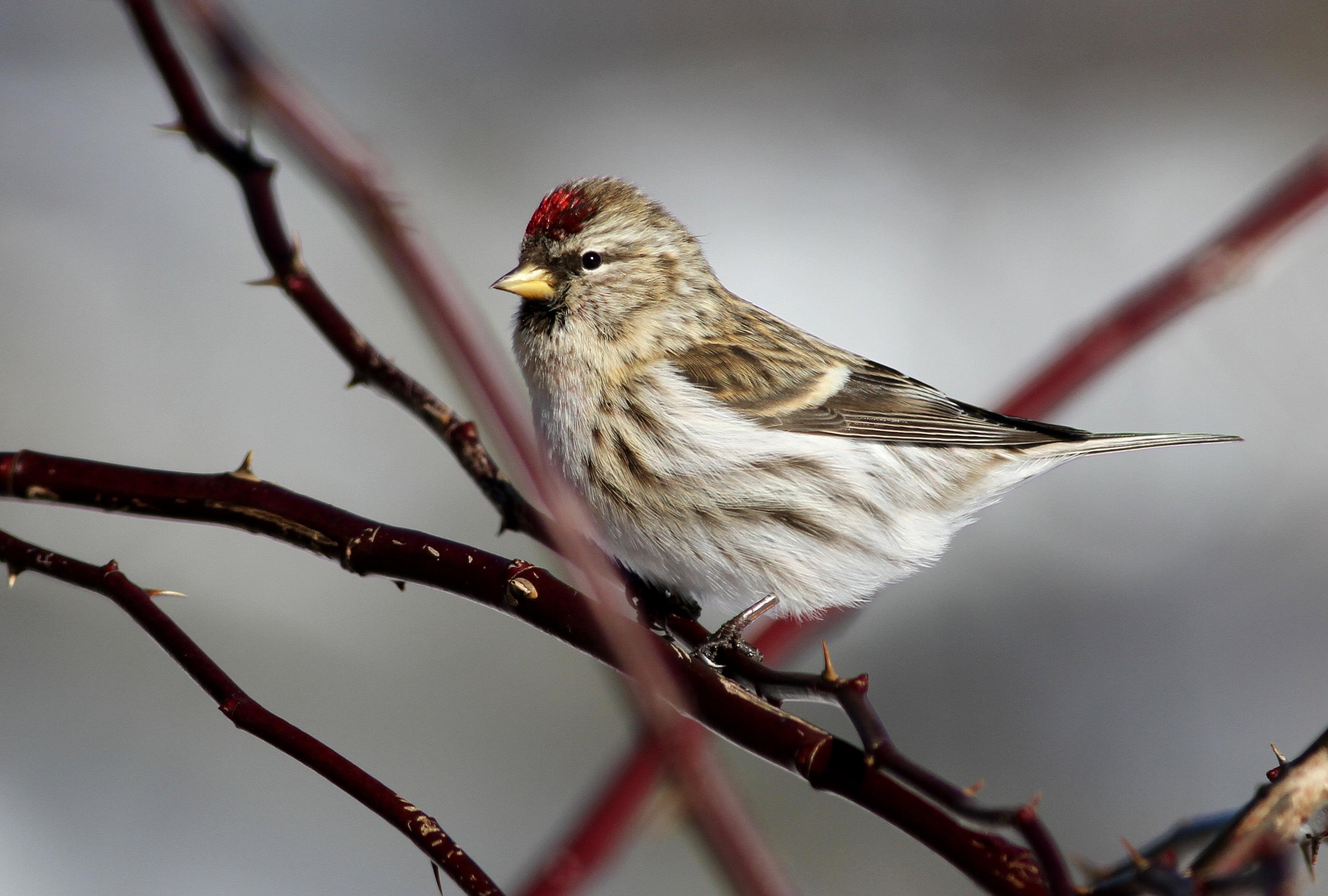 Brown bird on tree branch common redpoll HD wallpaper Wallpaper 3156x2131