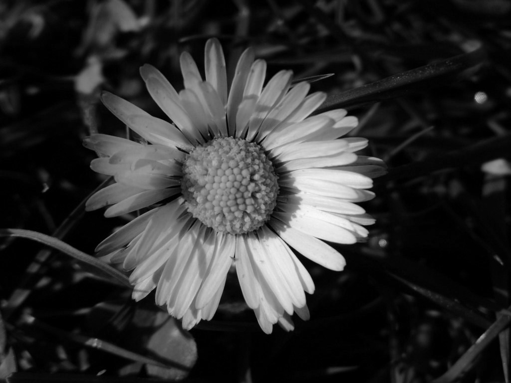 [43+] Black and White Daisy Wallpaper on WallpaperSafari