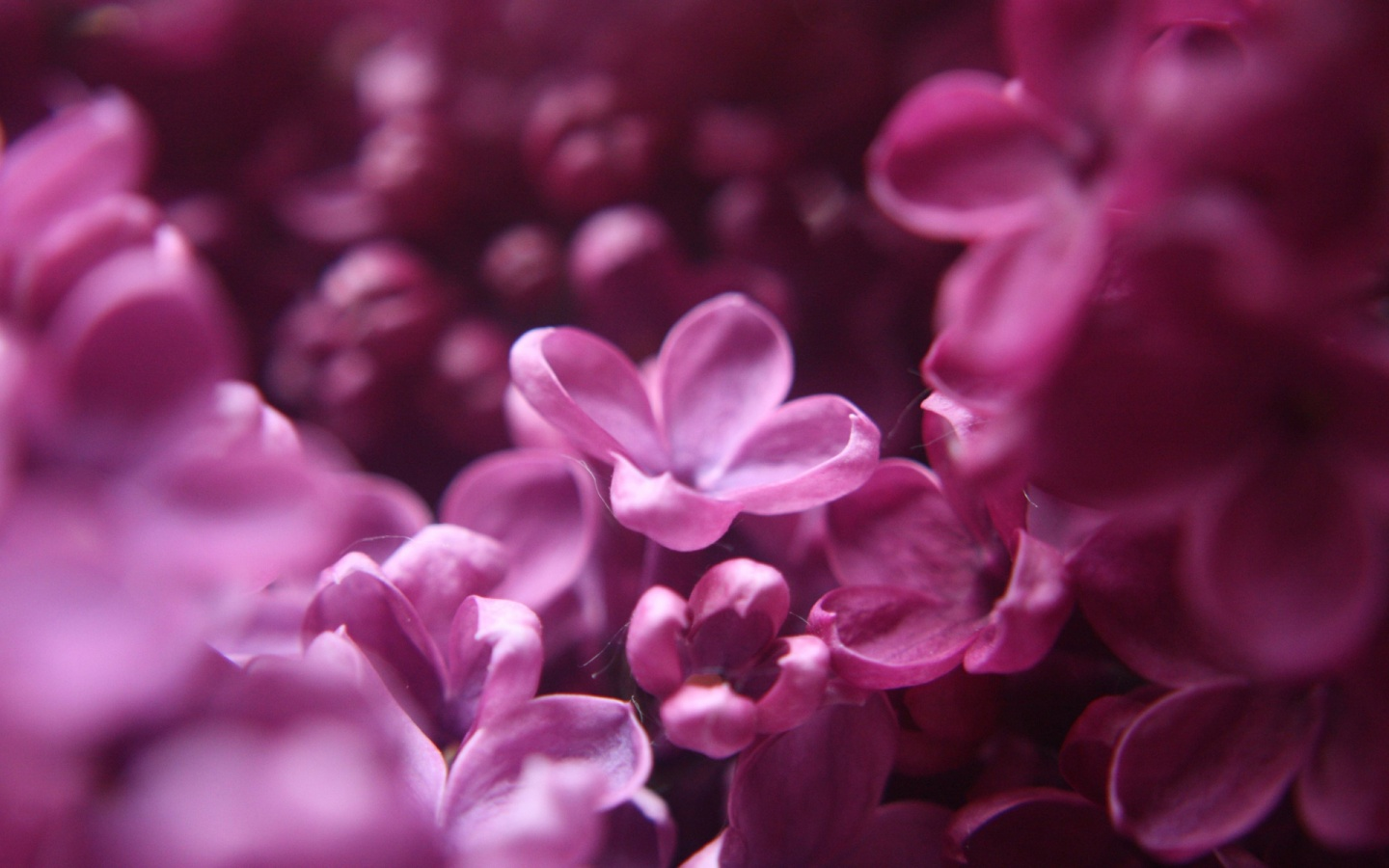 lilac 1440x900 wallpaper download page 264259 1440x900