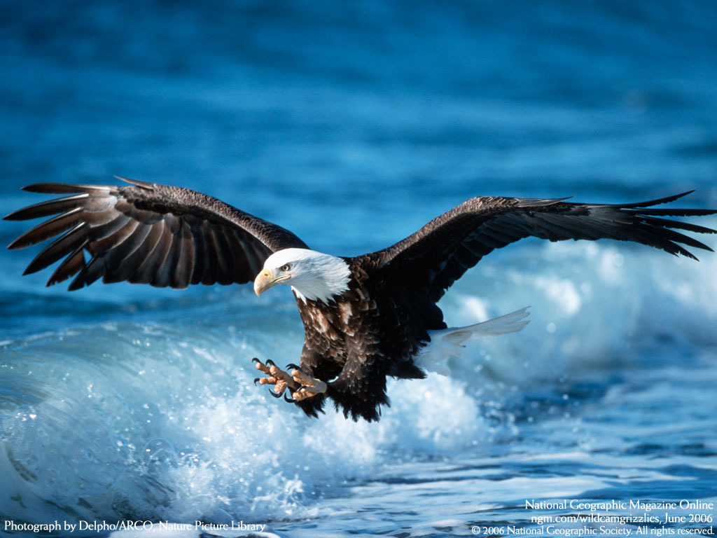 Flying Birds Eagle Wallpapers 1024x768