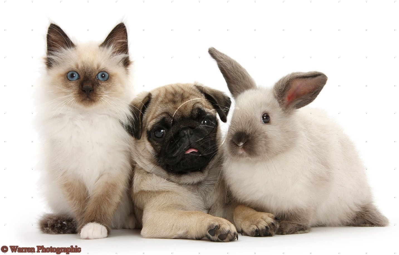 Pug Puppies Wallpaper White 18 Desktop Wallpaper Wallpaper 1433x914