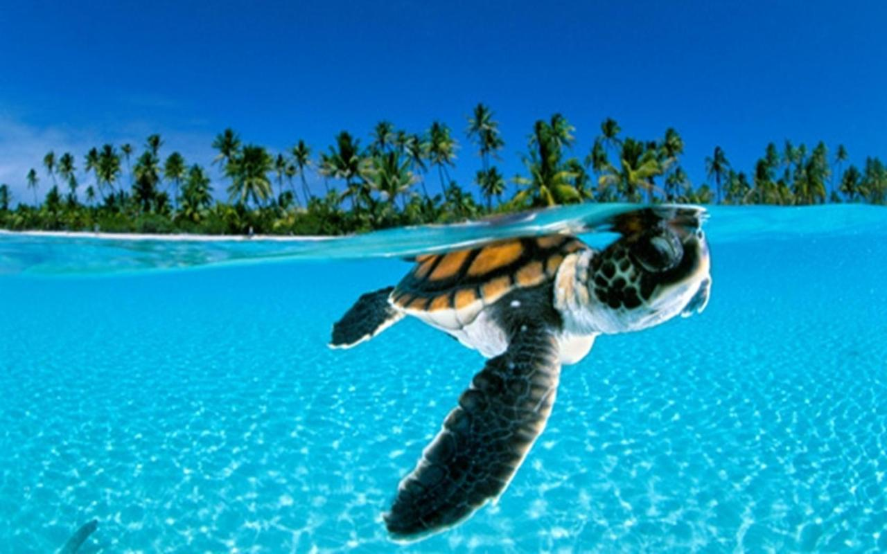Sea Turtle Wallpaper Desktop Wallpapersafari