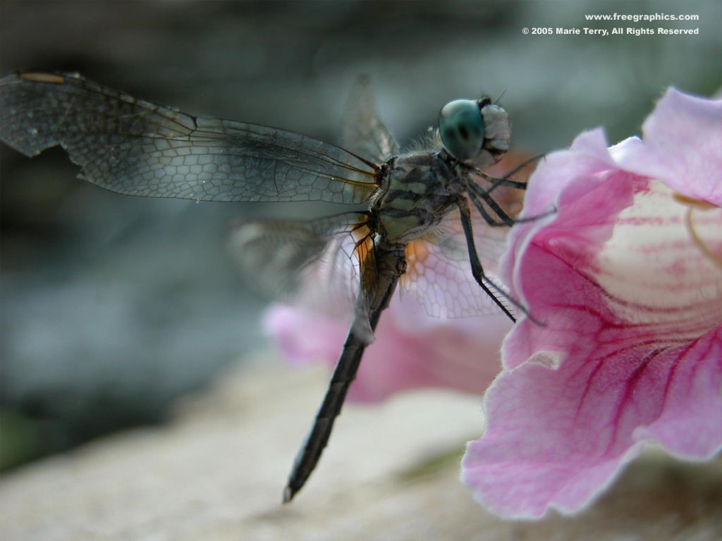 Dragonfly Wallpaper Desktop 1024x768