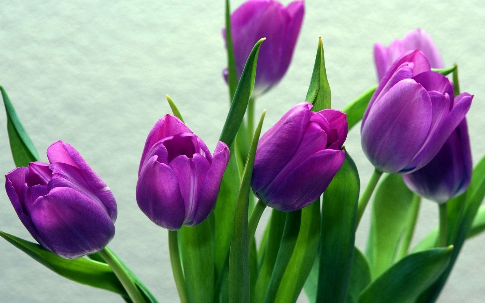 Purple Tulip Wallpaper