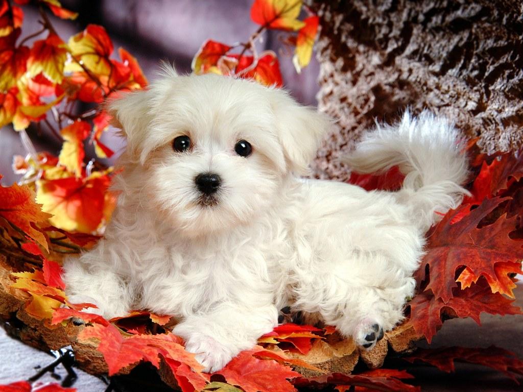 Free Download White Puppy Wallpaper Wallpaper White Puppy Wallpaper Hd Wallpaper 1024x768 For Your Desktop Mobile Tablet Explore 75 White Dog Wallpaper Black And White Dog Wallpaper