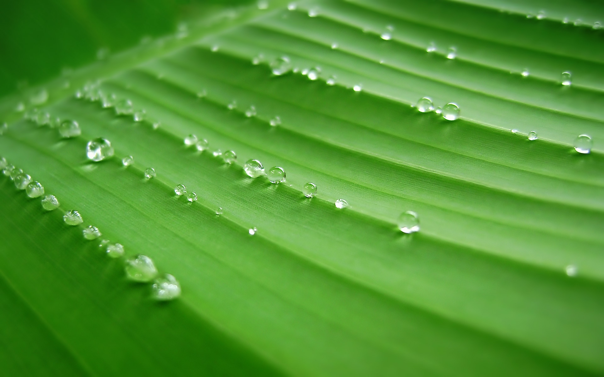 1920x1200 Banana Leaves desktop PC and Mac wallpaper 1920x1200