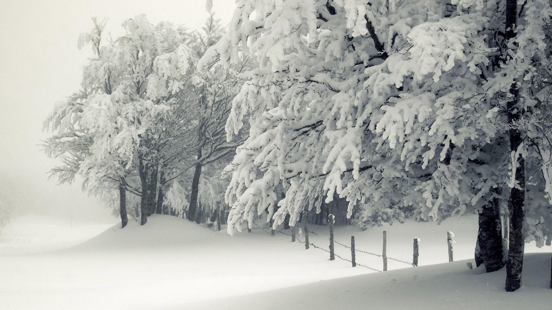 Snowy trees wallpaper 11605 1920x1080