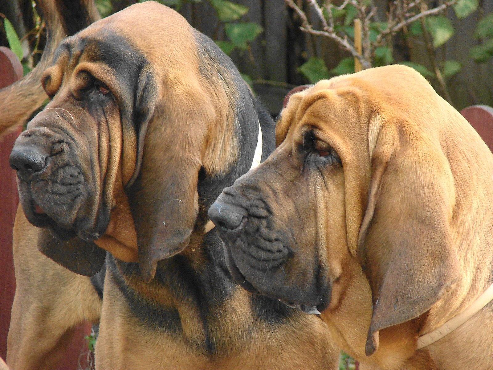 download bloodhound puppies dog wallpaper picture bloodhound 1600x1200