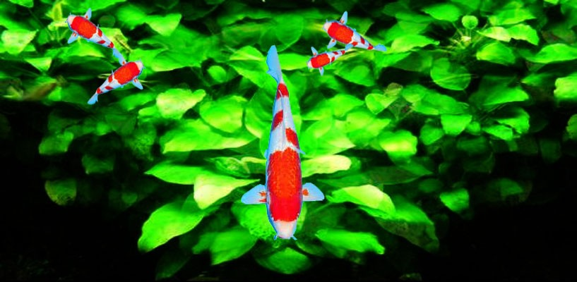 fish of the japanese koi fish with red markings screenshot