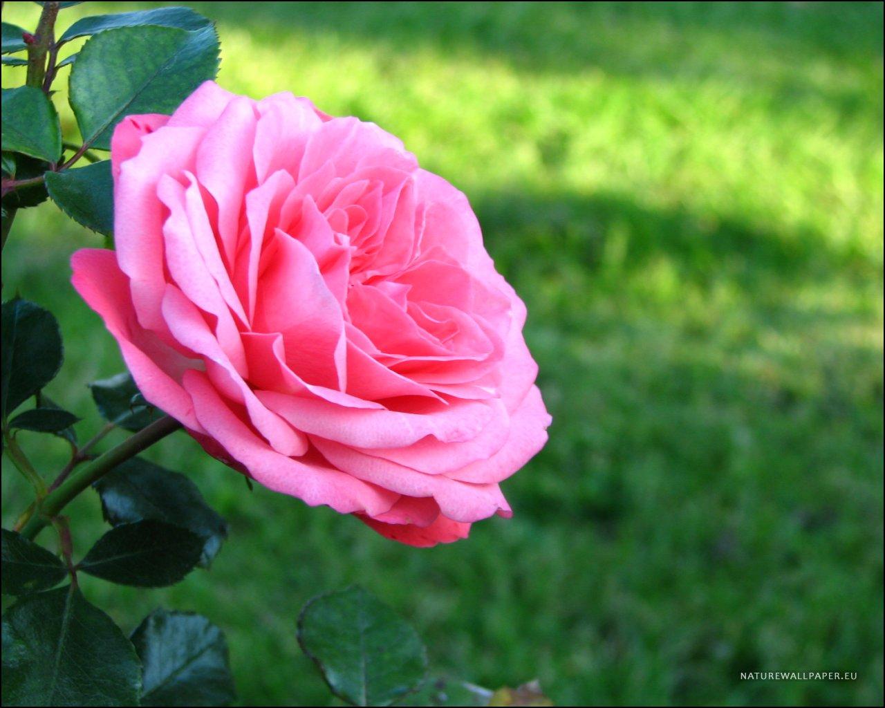 1280x1024 wallpaper Pink Rose Wallpaper Background 1280x1024