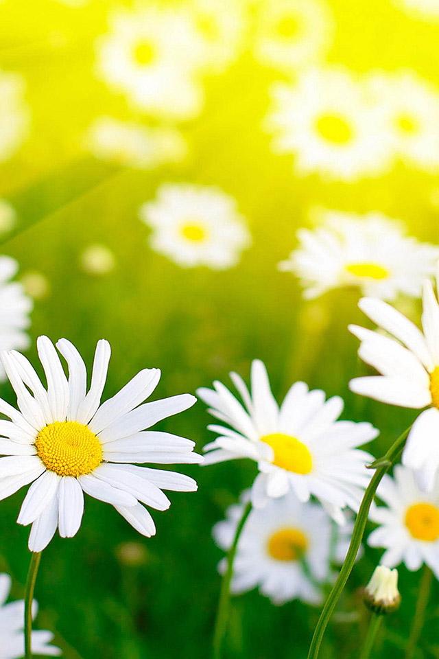 daisy blossom   parallax HD iPhone iPad wallpaper iPhone Wallpaper 640x960