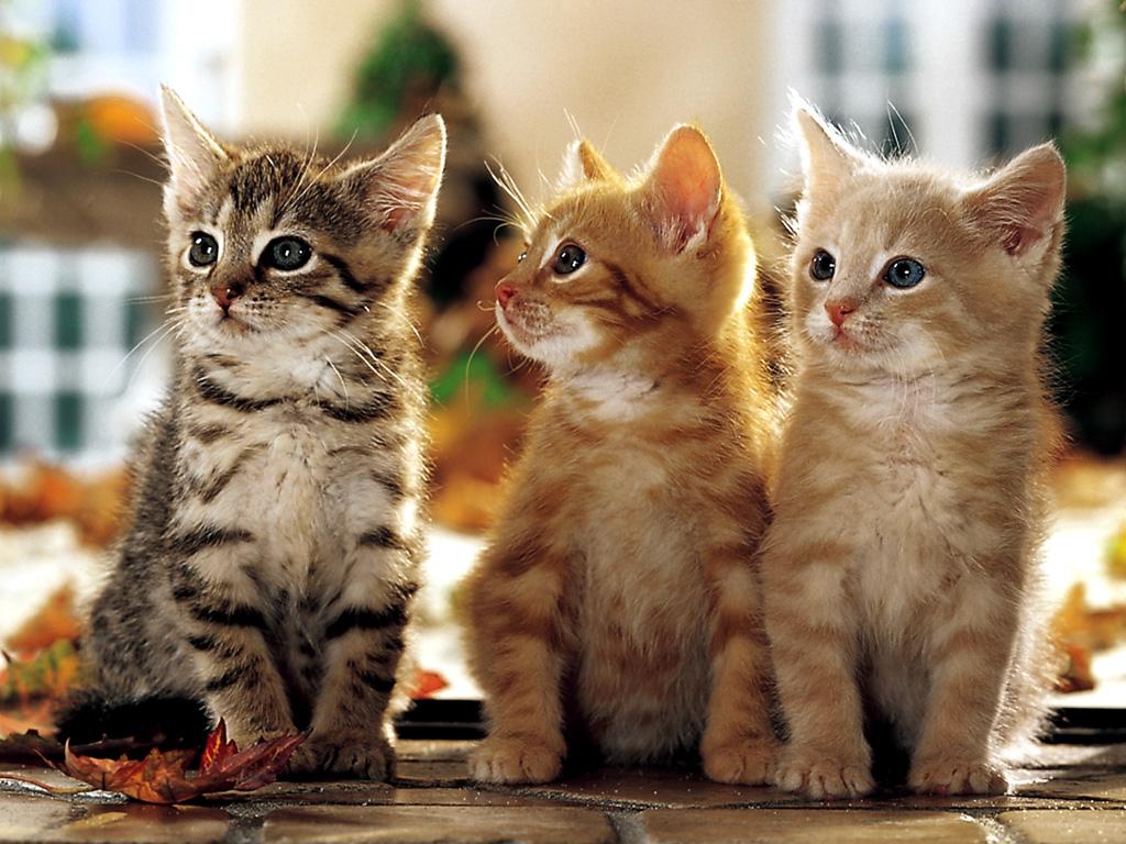 KapanLagicom Wallpaper   Feline Friends 1024x768