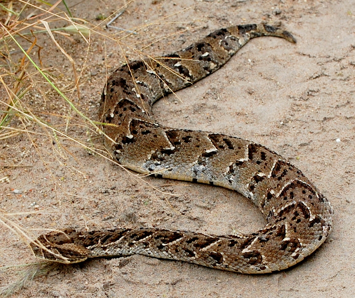 Male puff adders may be seen performing strange ritualized combats or 1157x973
