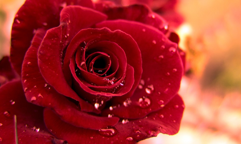 Rose Wallpapers   Android Apps on Google Play 800x480