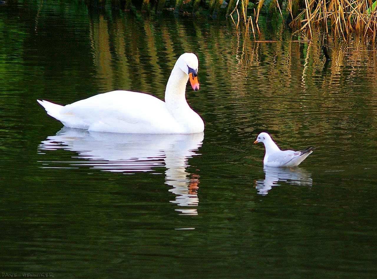 White Swan Wallpaper 1280x947