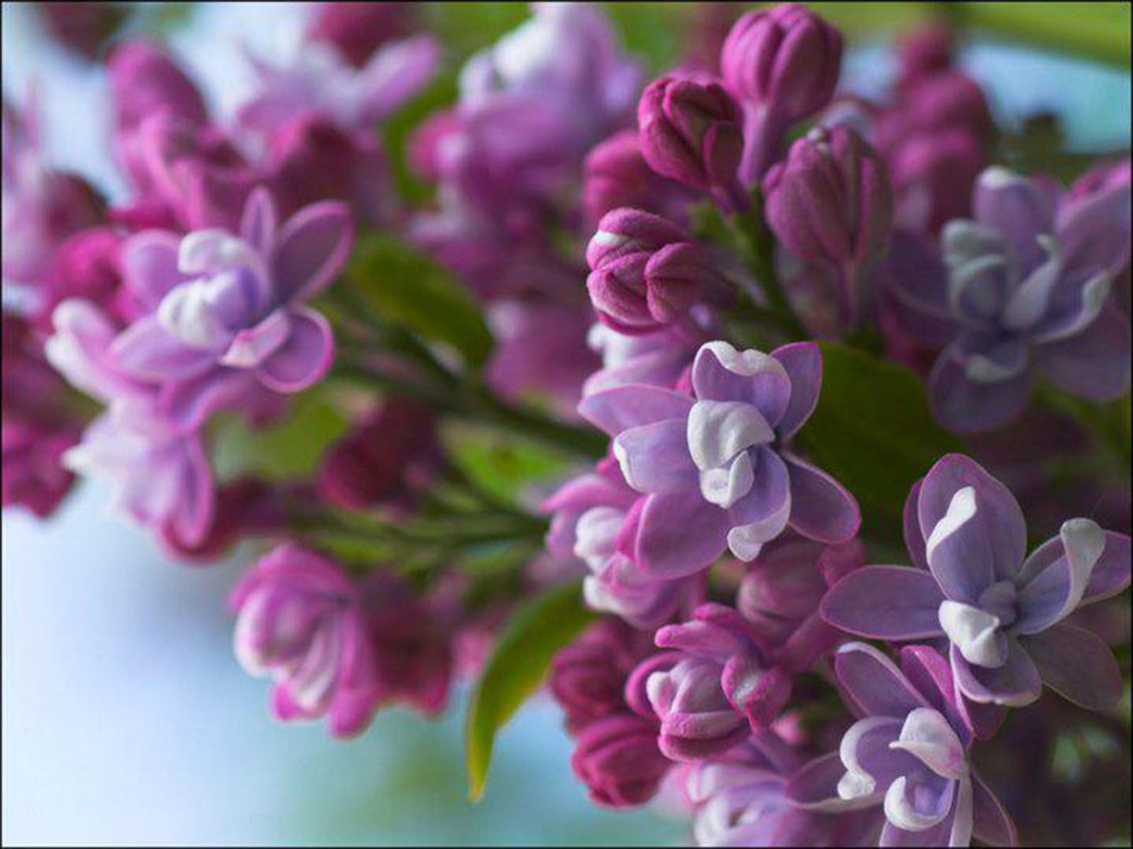 Flowers Purple Lilac   high quality background pictures 1600x1200