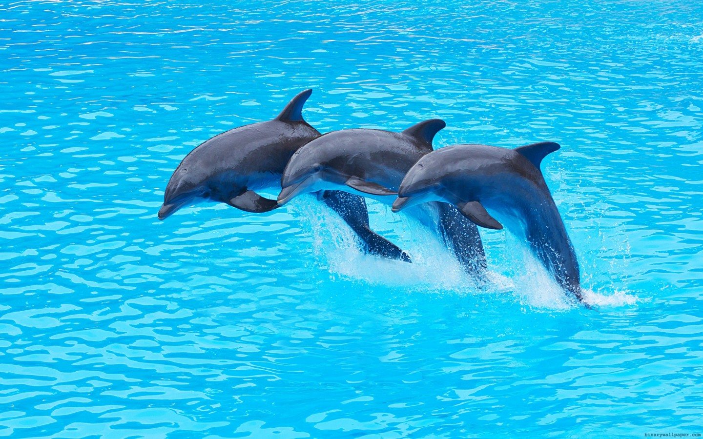 High Resolution Wallpaper Of 3 Dolphins PaperPull 1440x900