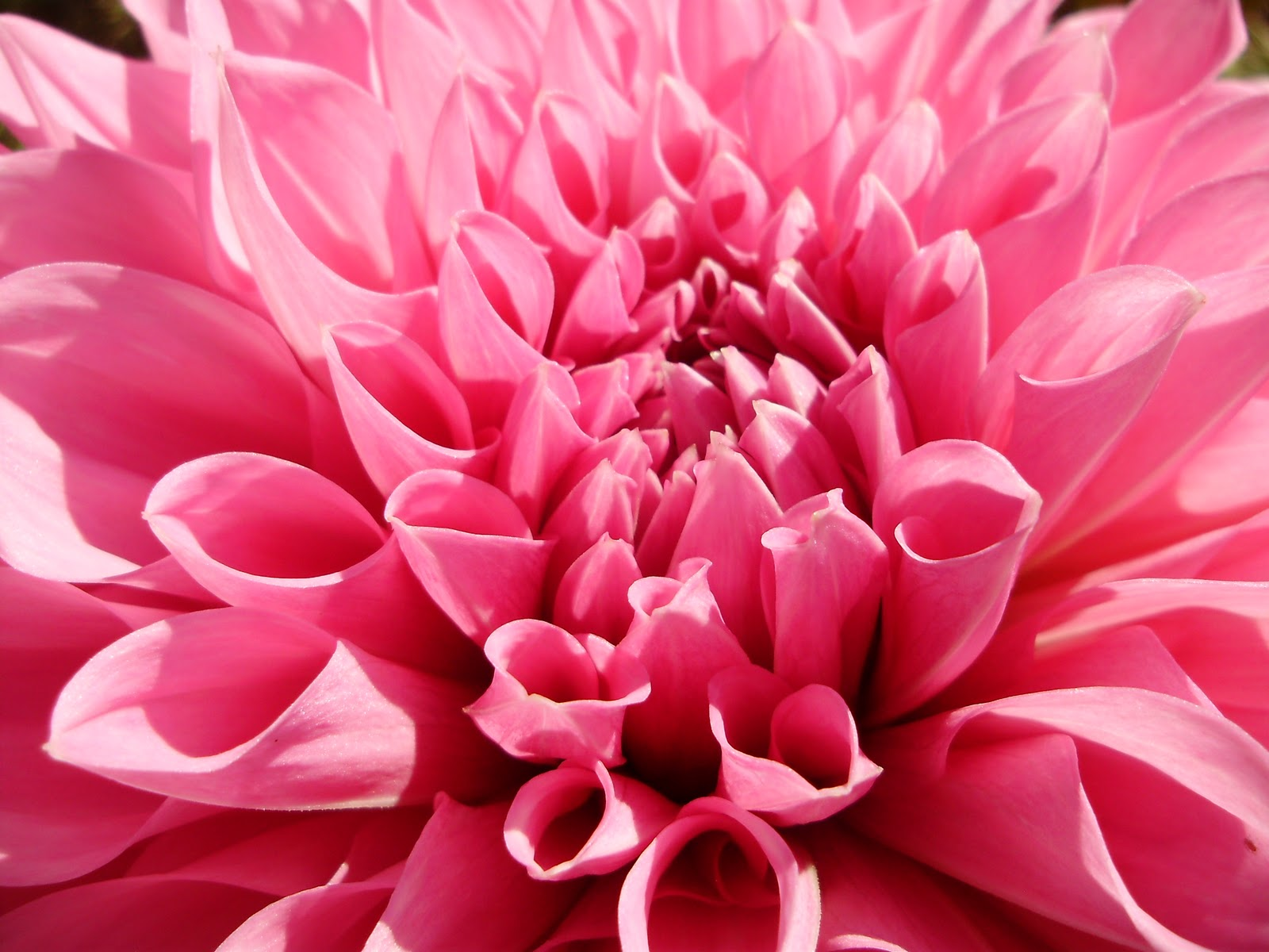 Pink Dahlia Spring Flower Wallpaper   Pink Dahlia Spring Flower 1600x1200