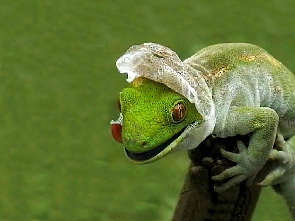 lizard shedding skin wallpaper 1 1024x768