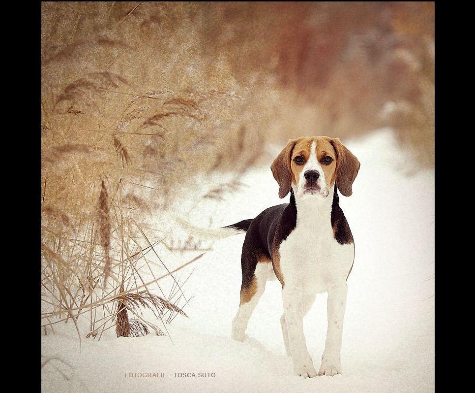 Beagle wallpaper   ForWallpapercom 966x798