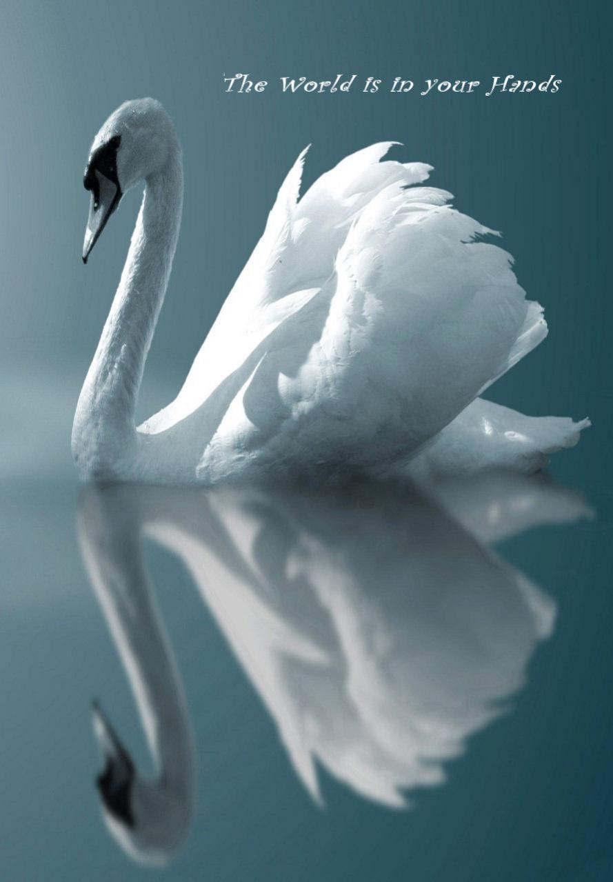 Beautiful Swan Wallpaper 889x1279