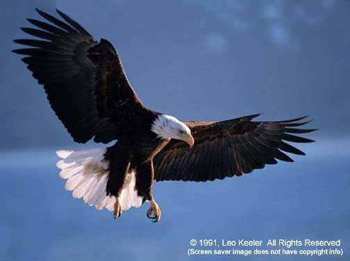 American Bald Eagles from Files32 Desktop Themes Wallpaper 504x375