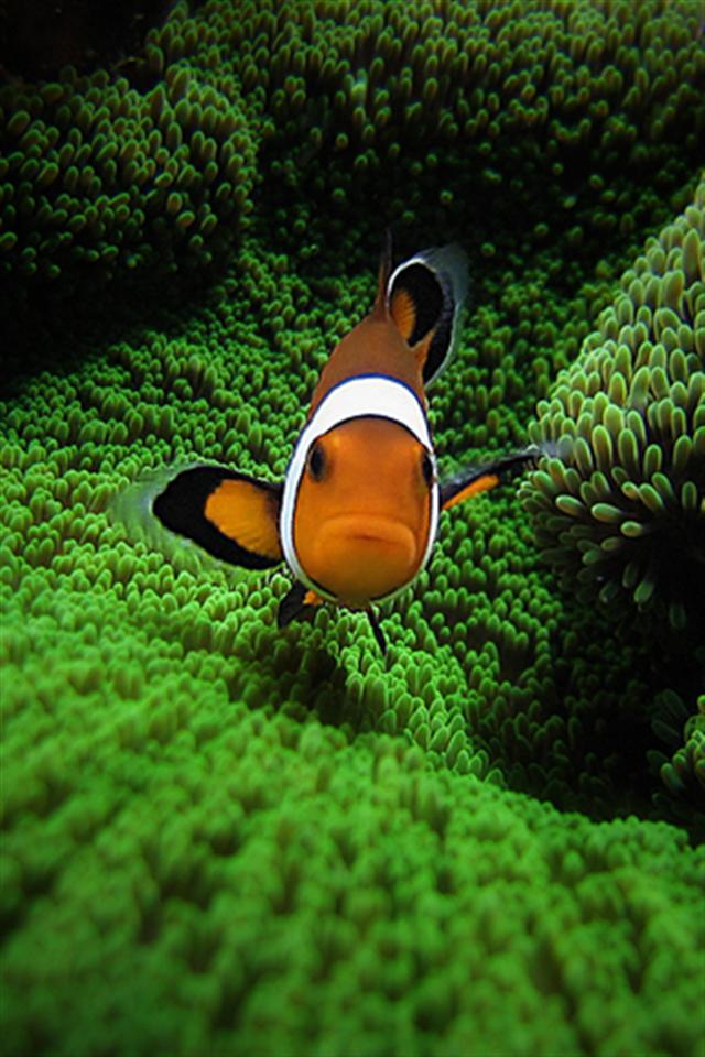 Clown Fish by Pedro Gonio Animal iPhone Wallpapers iPhone 5s4s 640x960