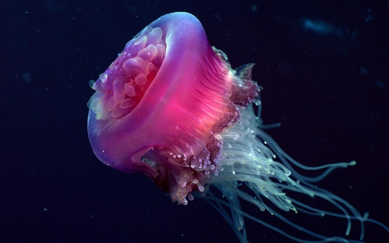 live jellyfish wallpaper wallpapersafari