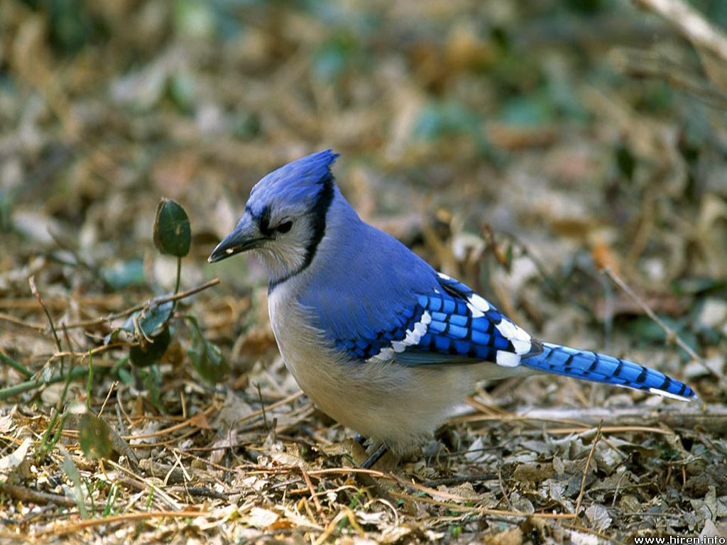 Cool Wallpapers blue jay wallpapers 1024x768