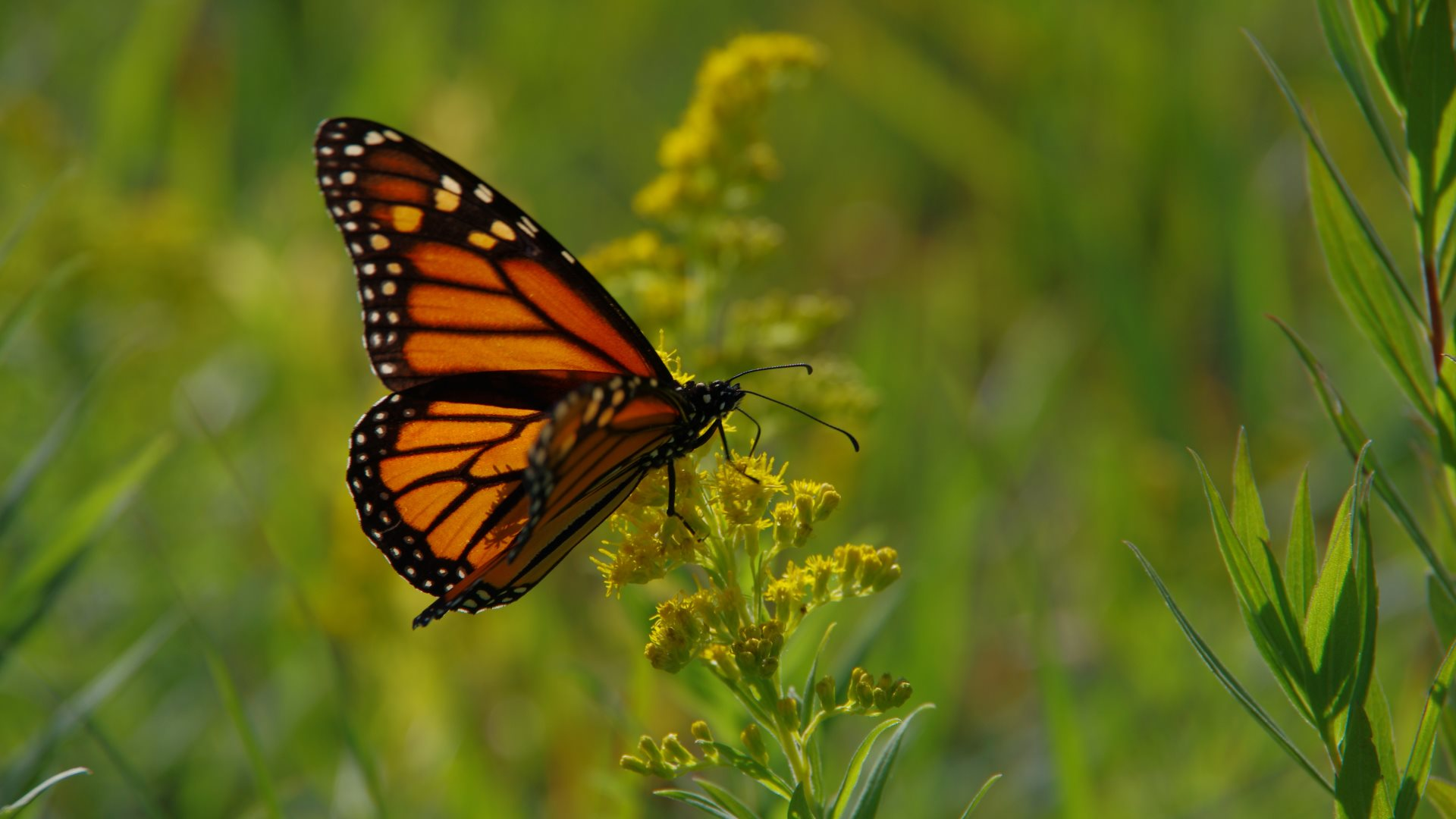 Lady Butterfly and Monarch Butterfly Wallpapers HD Wallpapers 1920x1080