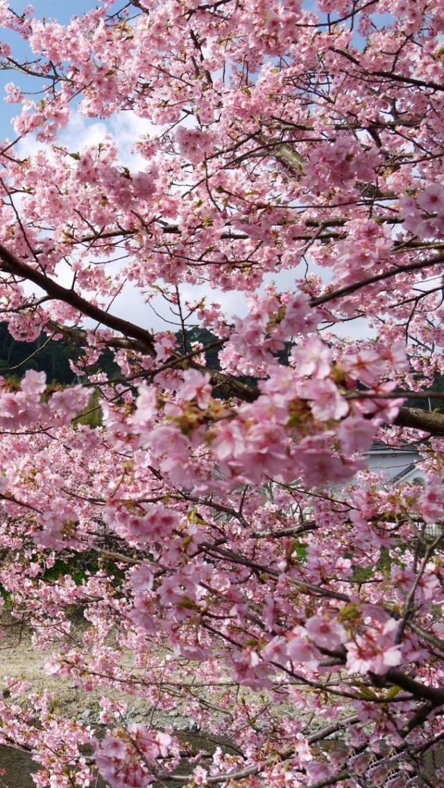 cherry blossom wallpaper for iphone wallpapersafari. Black Bedroom Furniture Sets. Home Design Ideas