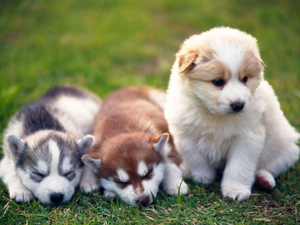 Husky Cute Puppies Wallpaper 1024x768