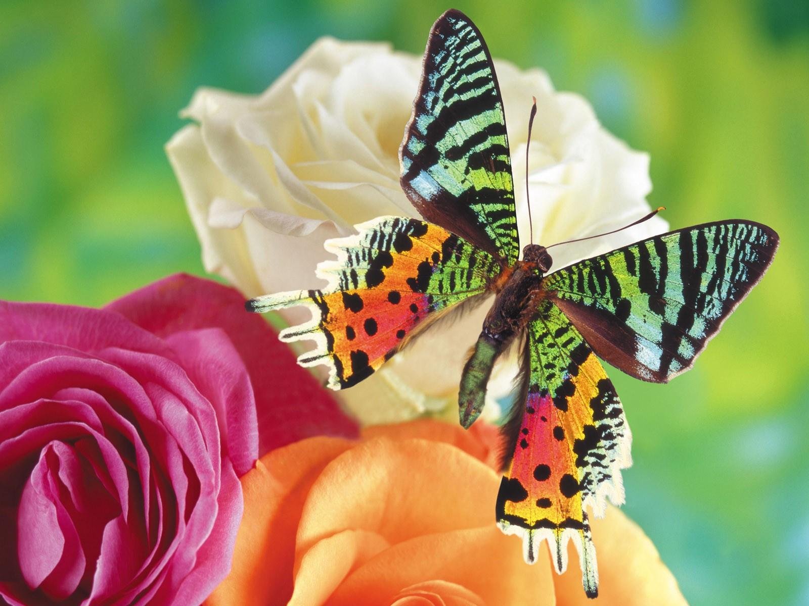 Colorful Butterflies   Wallpaper 34081 1600x1200