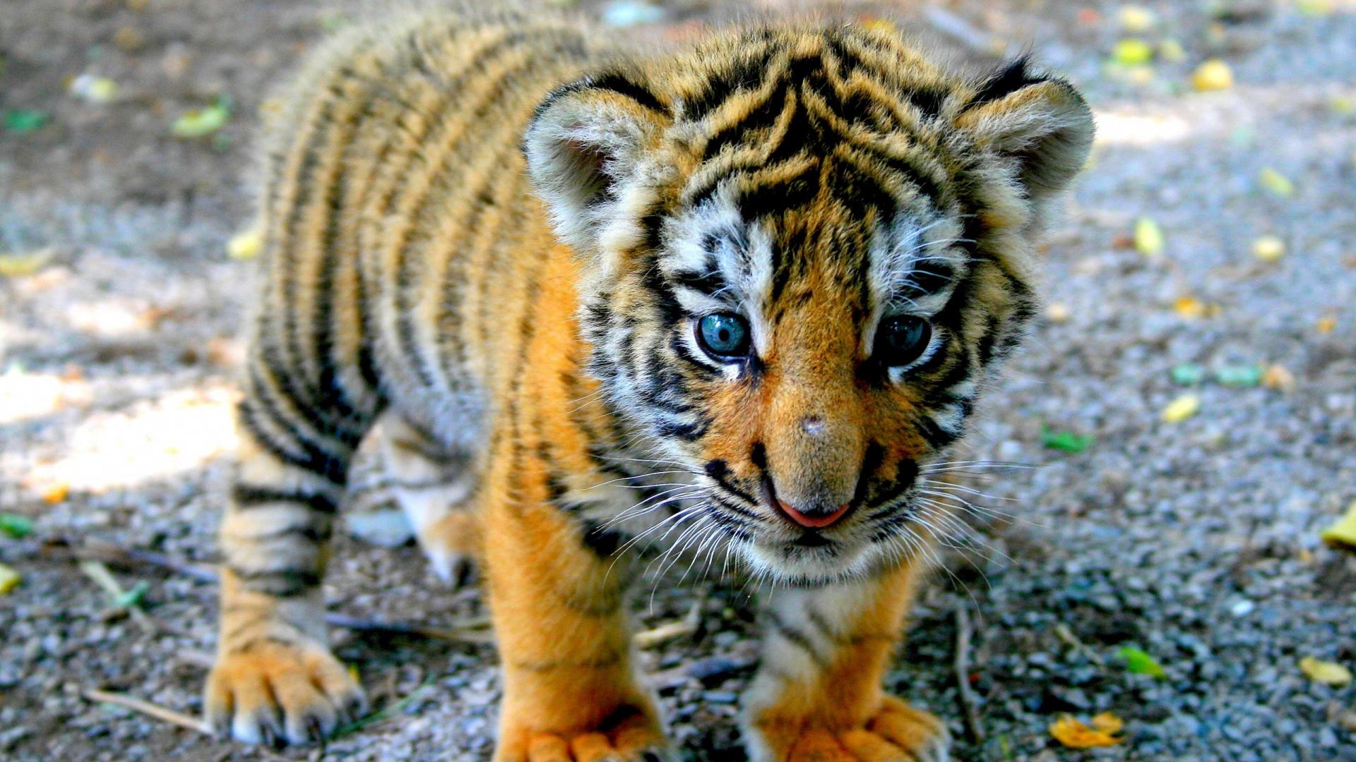 Download Wallpaper 1920x1080 Tiger Cub Look Kid Full HD 1080p HD 1920x1080