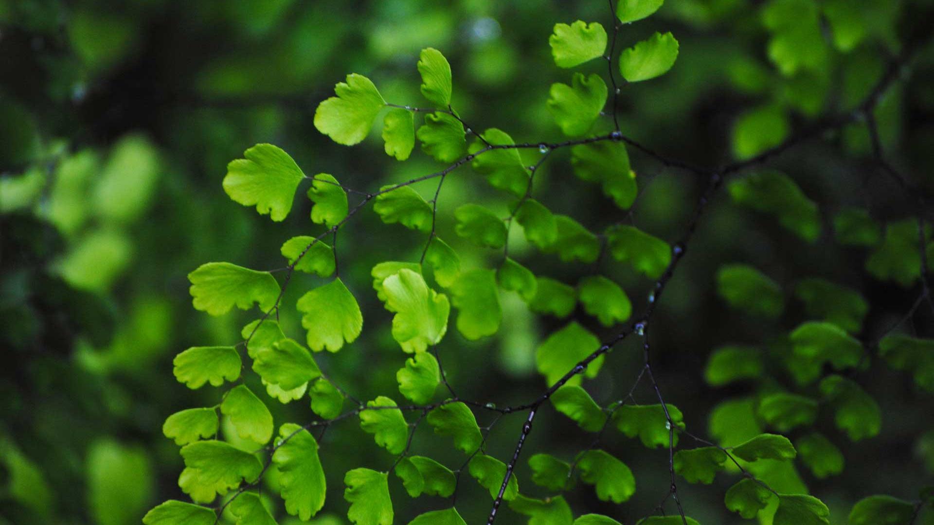 Green Leaf Wallpaper H...