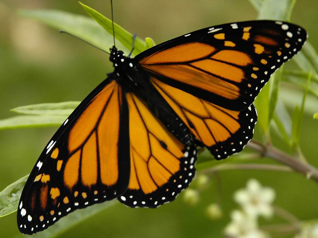 Monarch Butterfly HD Wallpaper Background Images 1024x768