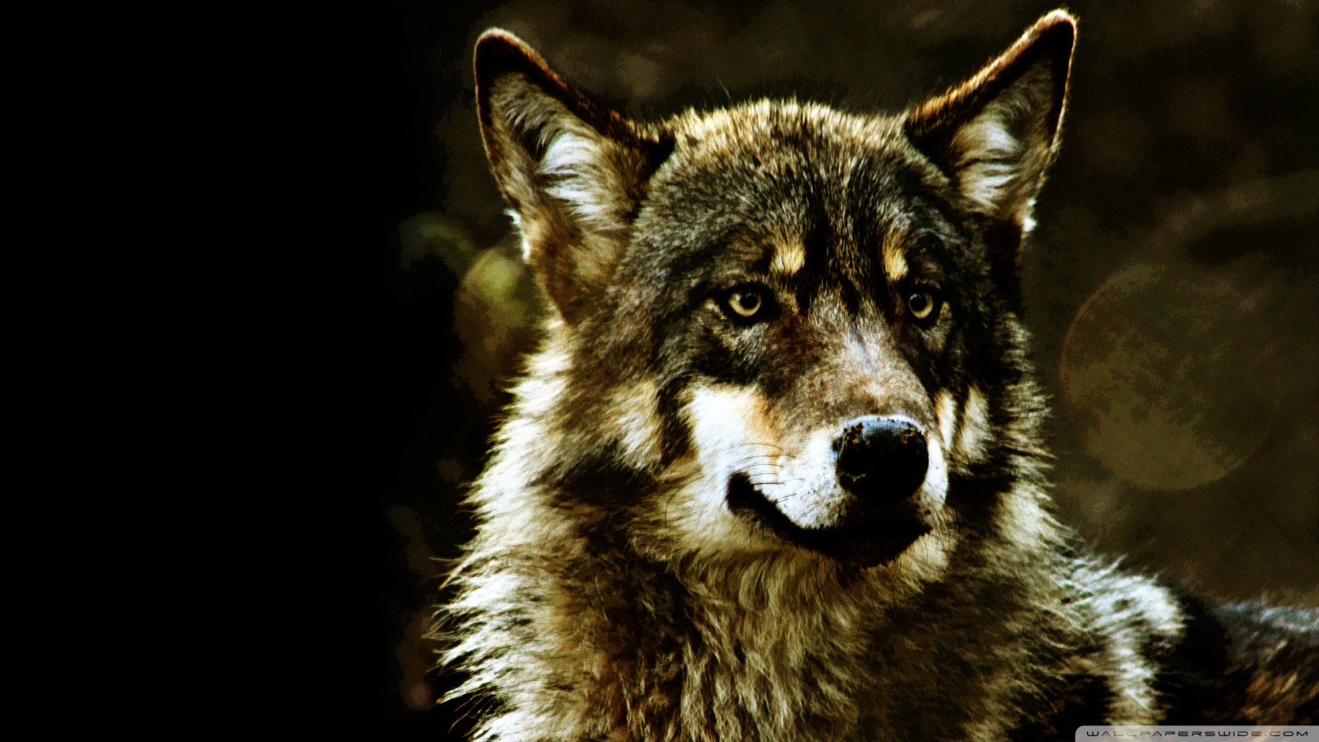 Wolf Wallpapers Hd   Desktop Backgrounds 1920x1080