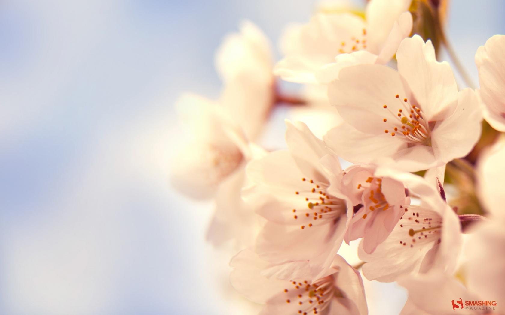 1680x1050 Cherry Blossom desktop PC and Mac wallpaper 1680x1050