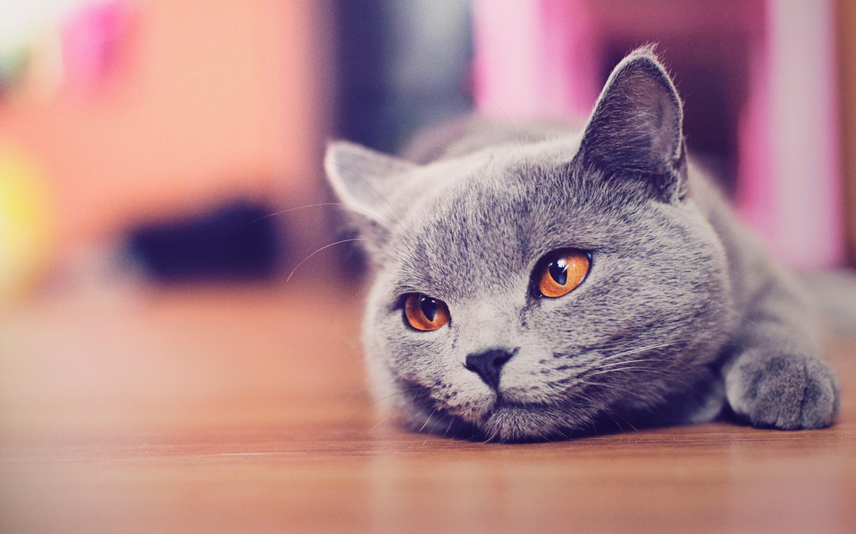 Cat   Cats Wallpaper 32097611 1440x900