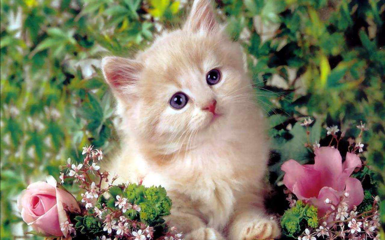 Cute Kitten   Kittens Wallpaper 16122928 1280x800