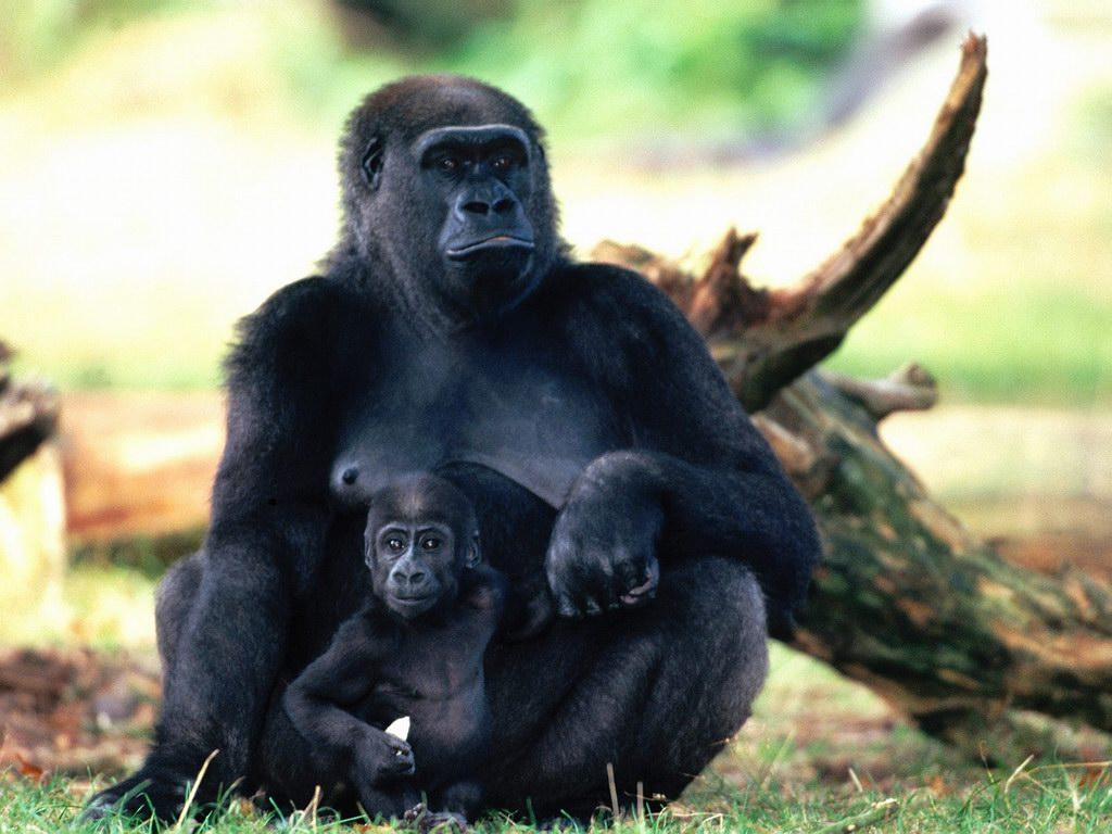 Funny Gorilla wallpaper Funny Animal 1024x768