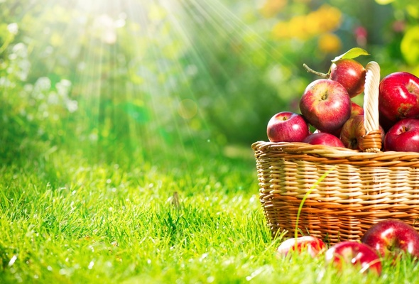 Wallpaper apple basket grass ray harvest desktop wallpaper 590x400