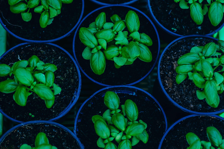 Green potted plants Basil Pots Plant HD wallpaper Wallpaper Flare 4896x3264