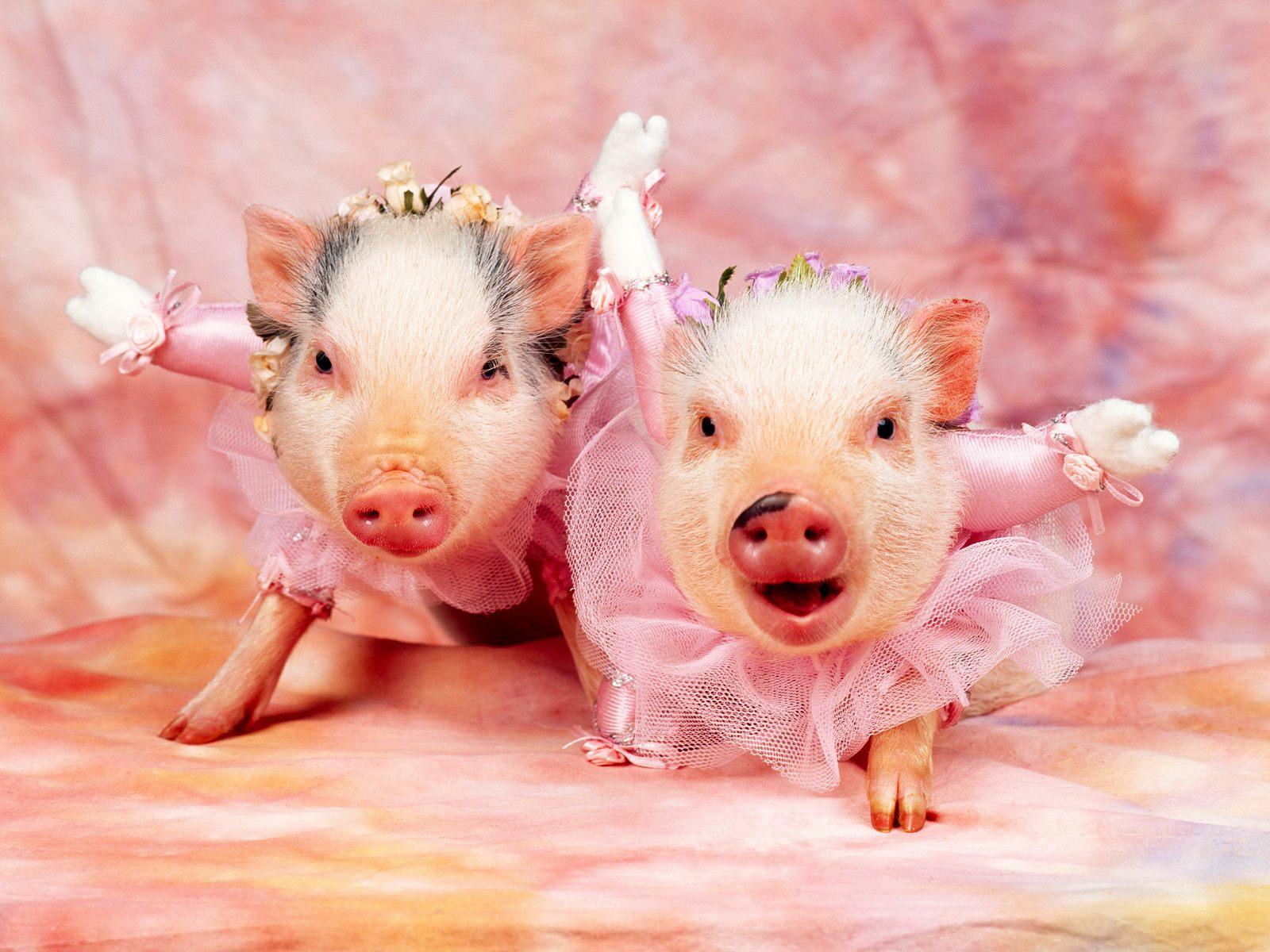 pigs wallpapers pigs wallpapers pigs wallpapers pigs wallpapers pigs 1600x1200