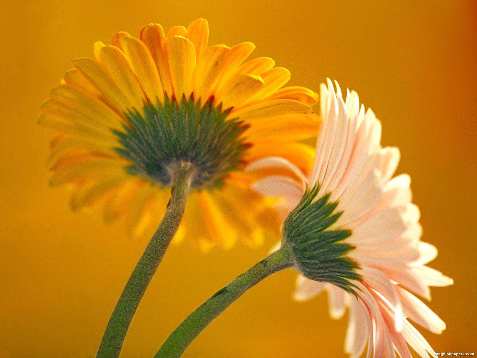 Gerbera Daisies wallpaper 1600x1200