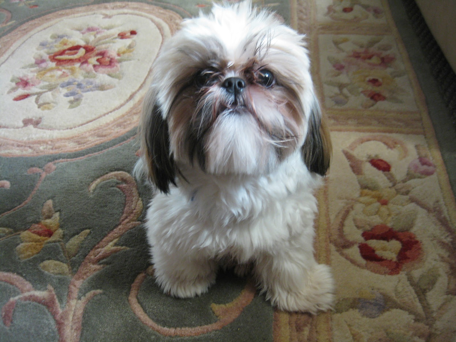 Cute Shih Tzu Wallpaper - WallpaperSafari